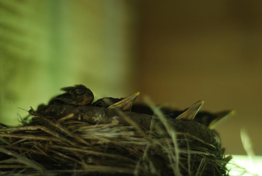 robin fledglings