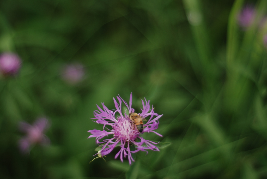 bee, knapweed