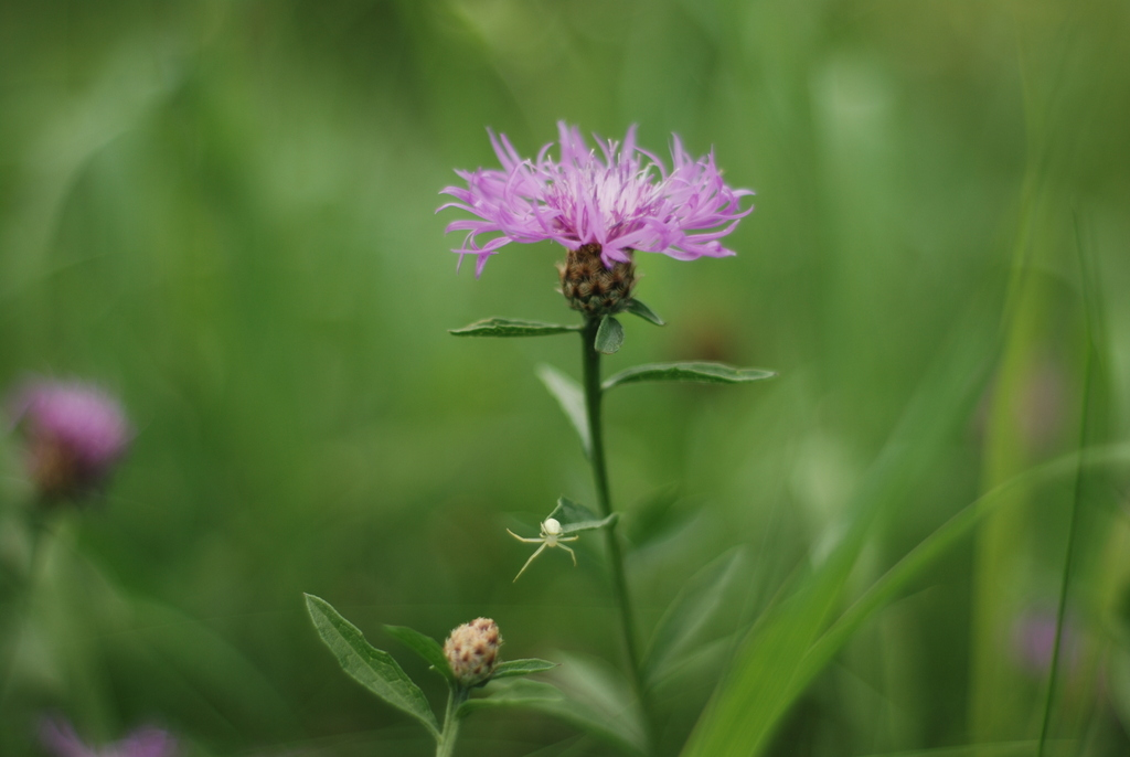 spider, knapweed