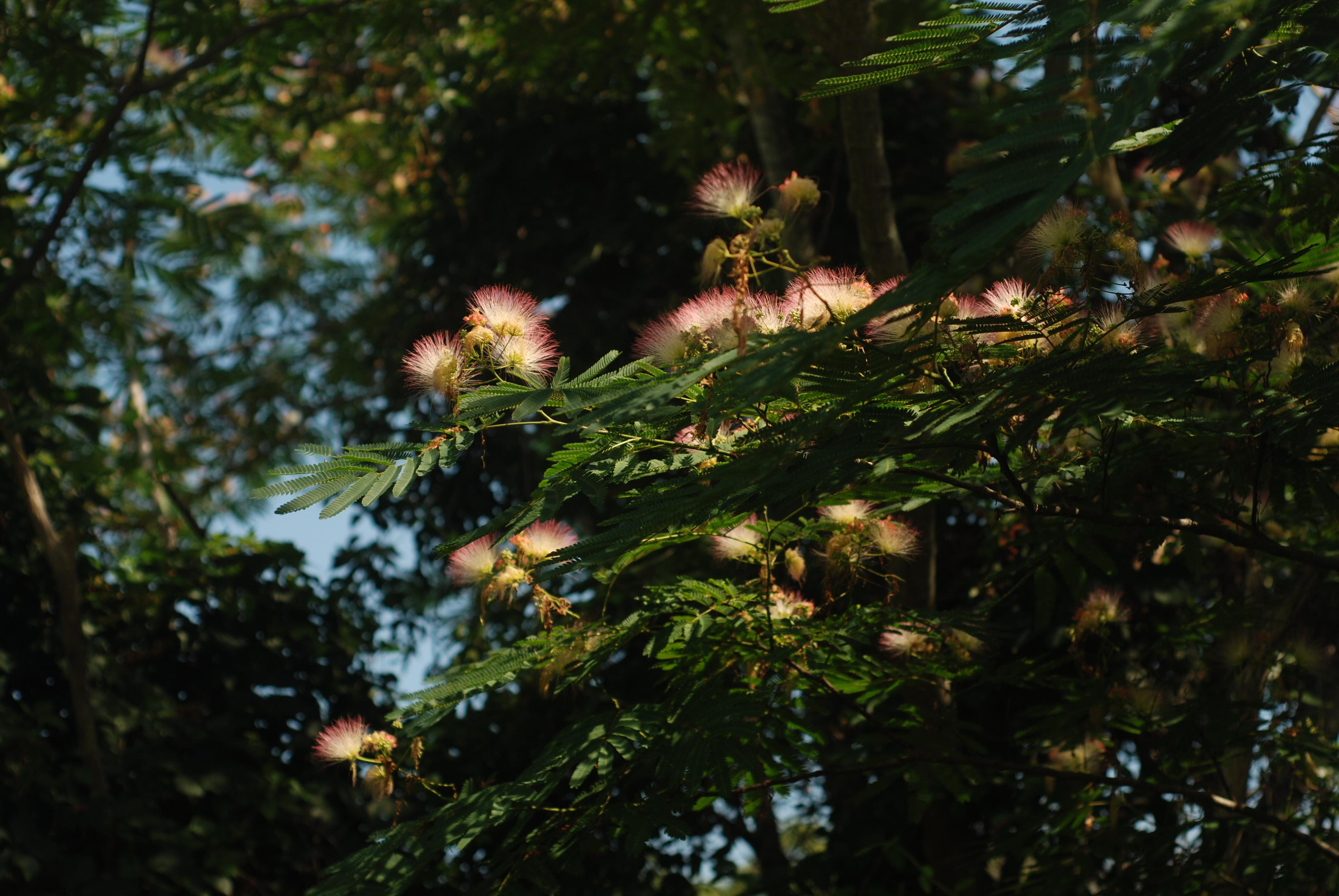 Albizia julibrissin/mimosa